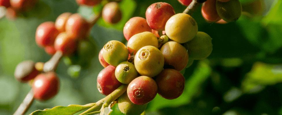 Rainforest Alliance sertificēts kakao, kafija, tēja un lazdu rieksti
